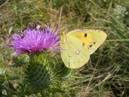 yellow butterfly sitting on a thistle