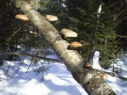 mushrooms on a tree trunk in the winter forest