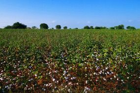 cotton field in India