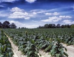 tobacco farm north carolina