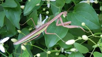 mantis on a green plant in the wild