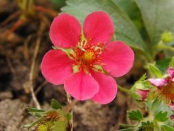 pink strawberry flower