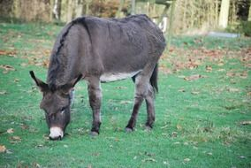 grazing donkey in autumn