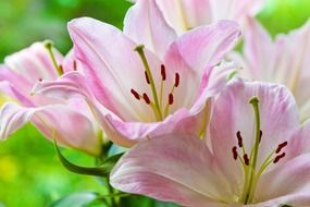 Flowering of pink lilies