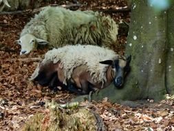 two tired sheep are resting in the forest