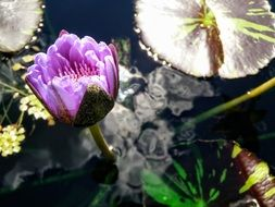 Violet lily pad on the water