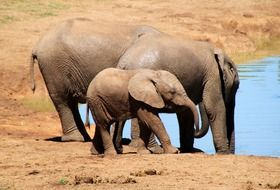 african elephant family drinking water
