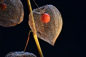 orange physalis berries