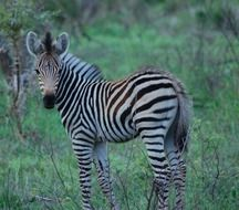 little zebra in safari