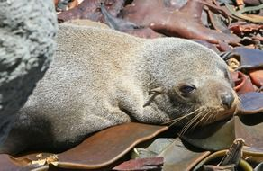 fur seal seals pup kekeno
