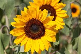 bright summer yellow sunflower
