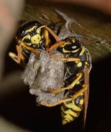 black-yellow striped insects closeup