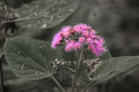panicle of pink fluffy flowers