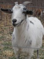domestic goat on pasture