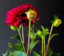 red dahlias on the black background