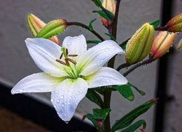white lily with buds in the drops of dew