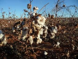dry pods with white cotton