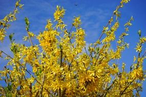 yellow forsythia aesthetic branches sky view