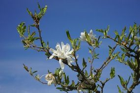 White magnolia is an ornamental plant