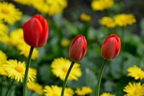 red tulips with yellow daisies spring nature