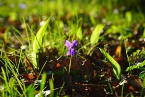 wald violet flower blossoming in the sun