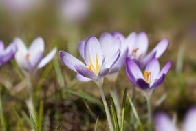 Spring crocuses close-up