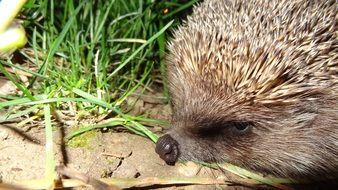 hedgehog in green grass close-up