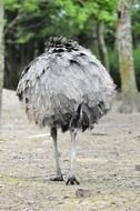 gray ostrich is walking along the road