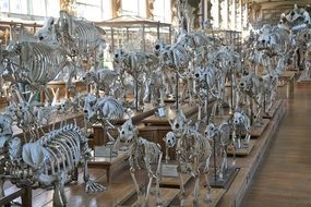 variety of skeletons of animals in the hall in the museum