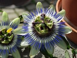 very beautiful passion flower