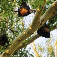 wild bats on a tree in india
