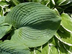 Hosta is a genus of perennial herbaceous plants of the Asparagus family
