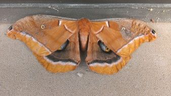 Picture of the brown wild moth