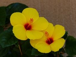 two yellow hibiscus