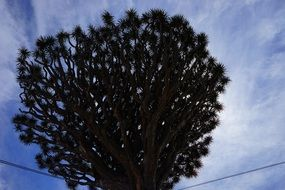 A huge dragon tree close up