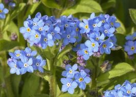 seasonal blue forget-me-not in the spring garden