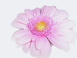 pink gerbera on a white background