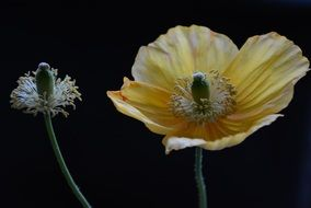 isolated yellow poppy flower