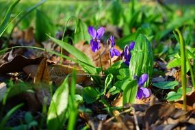 wald violet flower blossom in the spring