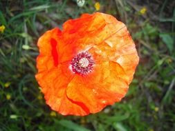 red poppy top view