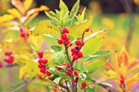 red berries on an autumn bush in autumn