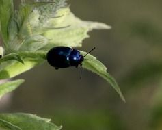 black shiny beetle on a green plant