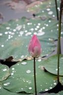 Gently pink bud of the lotus among the huge leaves