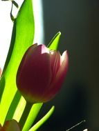 one natural tulip
