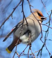 Bohemian waxwing sitting on a tree branch