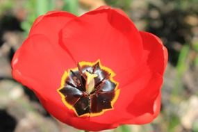 blossoming red tulip