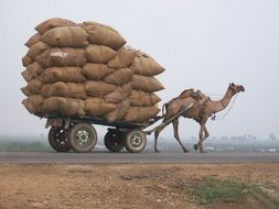 camel as a vehicle