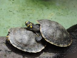 turtles in nature, two red-eared sliders