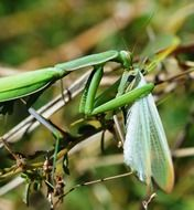 Picture of the green insect