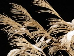 miscanthus sinensis grass with snow